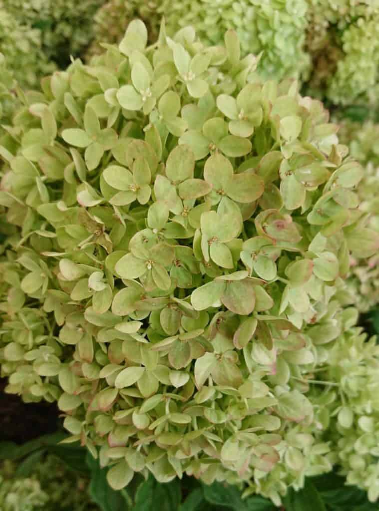 Some hydrangea varieties have naturally green flowers.