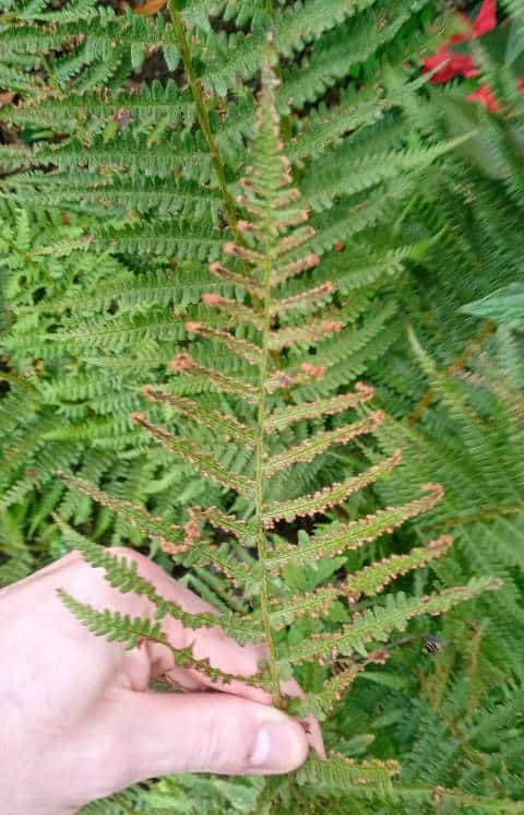 Outdoor fern turning brown in the Fall.