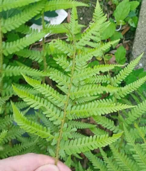 Fern leaves turning light green.