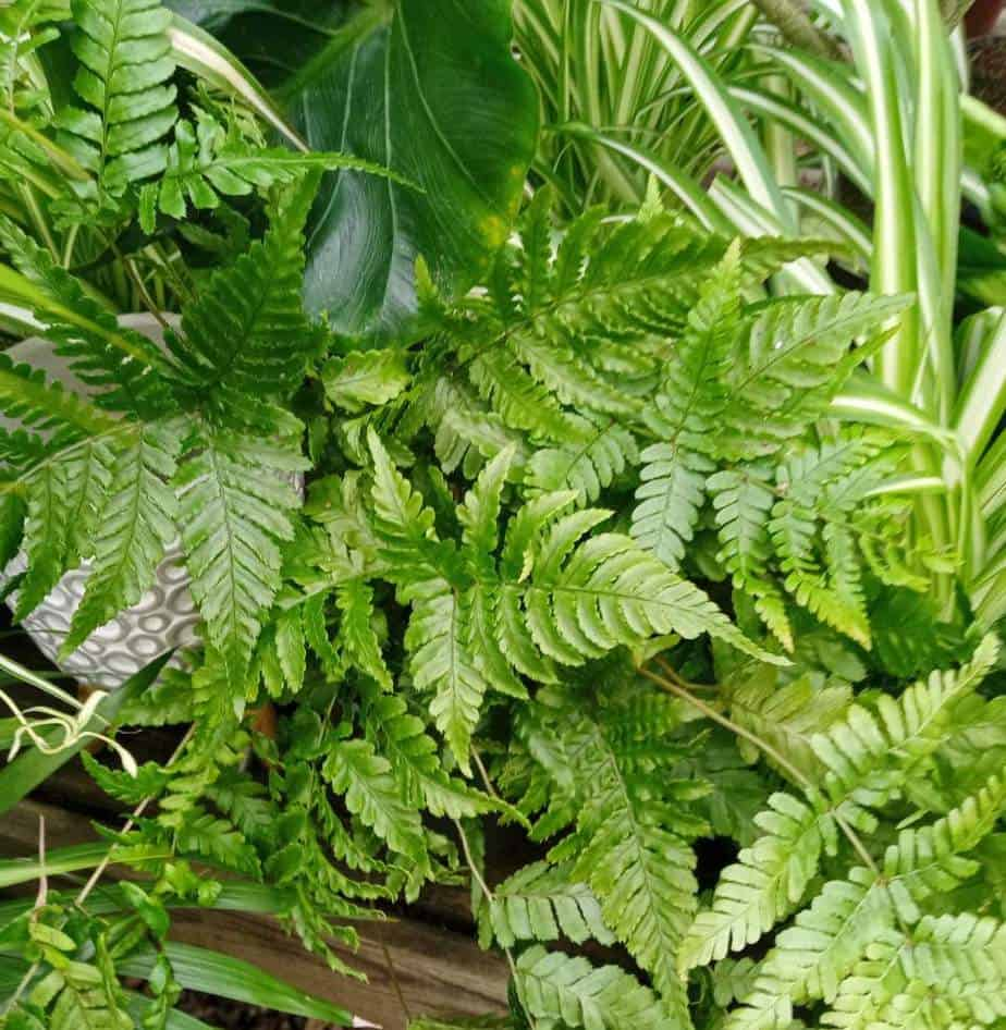 Placing several houseplants around your fern creates a humid micro-climate to help revive your fern.
