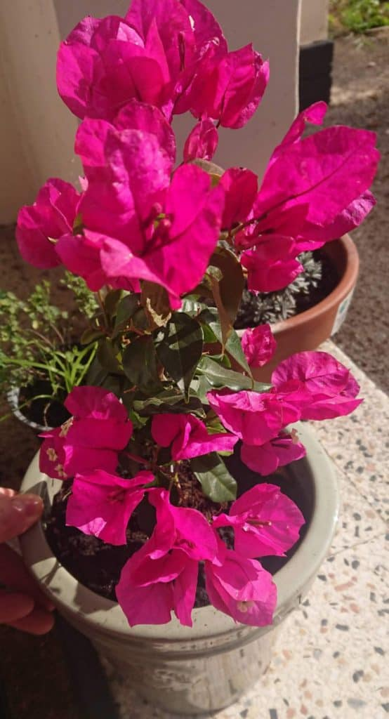 How to increase bougainvillea blooms